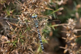 Common Hawker (male)