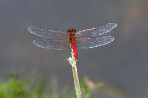 Red-veined Darter (male)