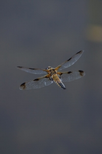 Four-spotted Chaser in  flight
