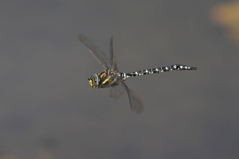 Common Hawker