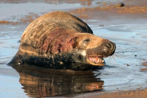 Grey Seal male