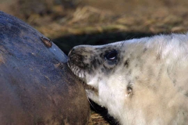 Grey Seal female feeding pup