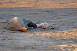 Grey Seal new born