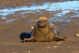 Grey Seal female