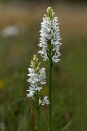 Common Spotted Orchid var.